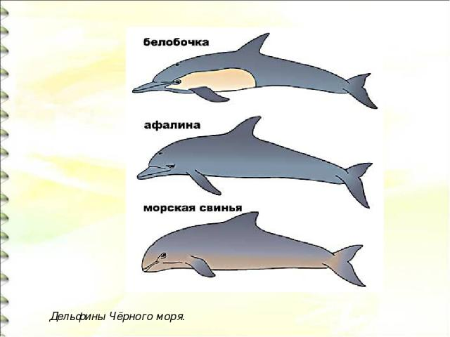 Дельфины Чёрного моря.