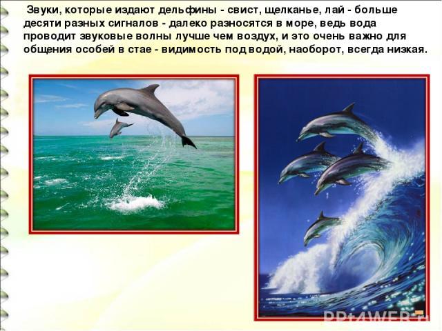Звуки, которые издают дельфины - свист, щелканье, лай - больше десяти разных сигналов - далеко разносятся в море, ведь вода проводит звуковые волны лучше чем воздух, и это очень важно для общения особей в стае - видимость под водой, наоборот, всегд…