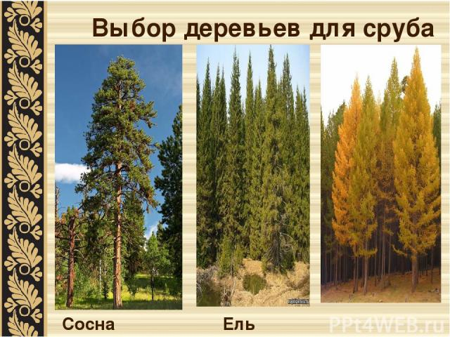 Выбор деревьев для сруба Сосна Ель Лиственница