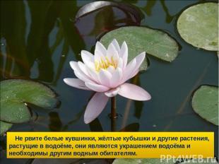 Не рвите белые кувшинки, жёлтые кубышки и другие растения, растущие в водоёме, о