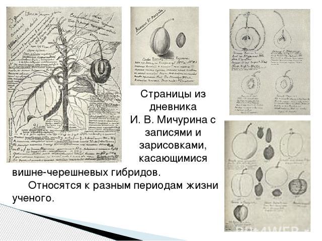 Страницы из дневника И.В.Мичурина с записями и зарисовками, касающимися вишне-черешневых гибридов. Относятся к разным периодам жизни ученого.