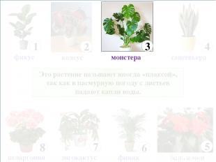 Это растение называют иногда «плаксой», так как в пасмурную погоду с листьев пад
