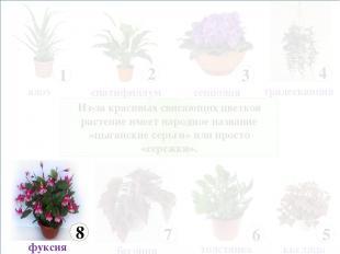 Из-за красивых свисающих цветков растение имеет народное название «цыганские сер