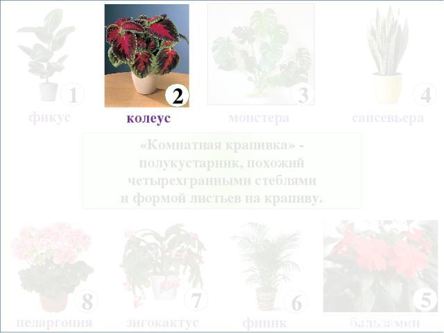 «Комнатная крапивка» - полукустарник, похожий четырехгранными стеблями и формой листьев на крапиву. 8 пеларгония