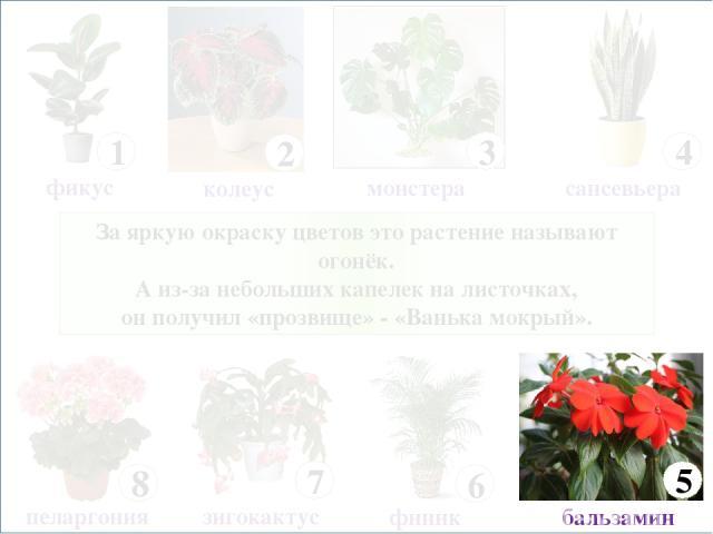 За яркую окраску цветов это растение называют огонёк. А из-за небольших капелек на листочках, он получил «прозвище» - «Ванька мокрый». 8 пеларгония