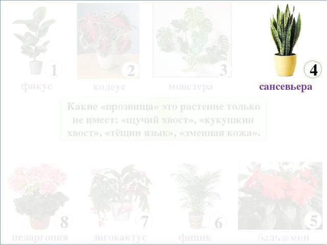 Какие «прозвища» это растение только не имеет: «щучий хвост», «кукушкин хвост», «тёщин язык», «змеиная кожа». 8 пеларгония