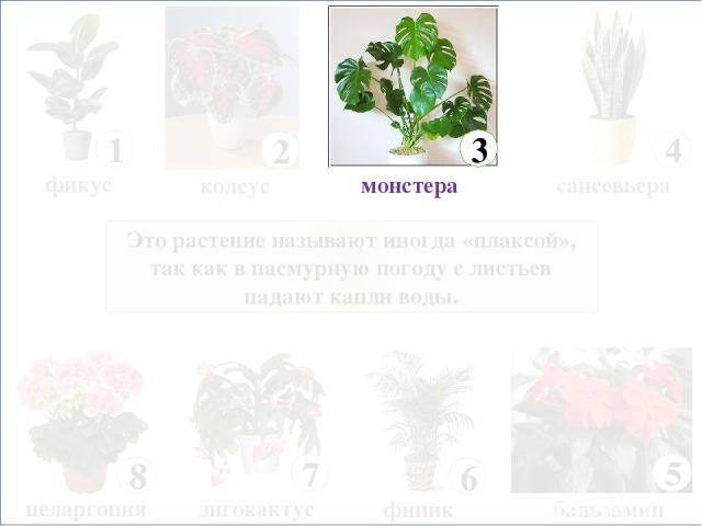 Это растение называют иногда «плаксой», так как в пасмурную погоду с листьев падают капли воды. 8 пеларгония