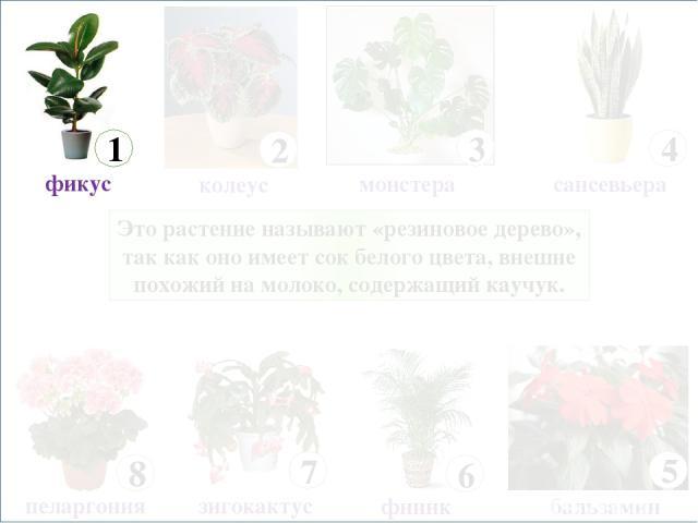 Это растение называют «резиновое дерево», так как оно имеет сок белого цвета, внешне похожий на молоко, содержащий каучук. 8 пеларгония