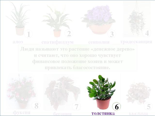Люди называют это растение «денежное дерево» и считают, что оно хорошо чувствует финансовое положение хозяев и может привлекать благосостояние.