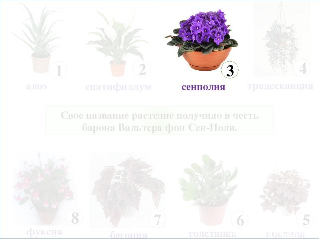 Свое название растение получило в честь барона Вальтера фон Сен-Поля.