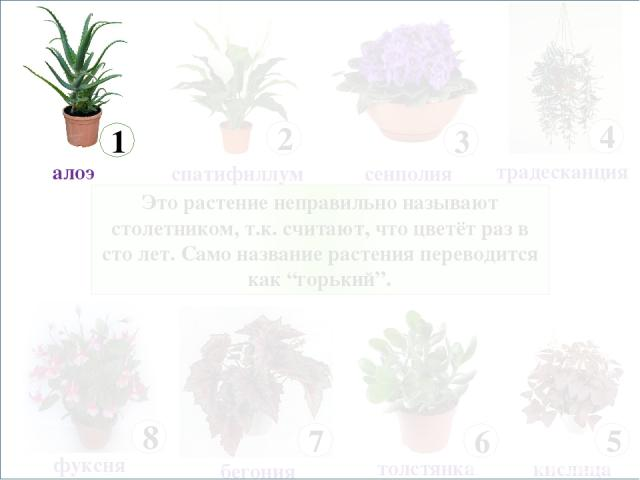 """Это растение неправильно называют столетником, т.к. считают, что цветёт раз в сто лет. Само название растения переводится как """"горький""""."""