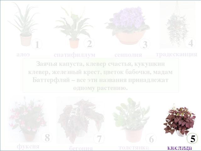 Заячья капуста, клевер счастья, кукушкин клевер, железный крест, цветок бабочки, мадам Баттерфляй – все эти названия принадлежат одному растению.