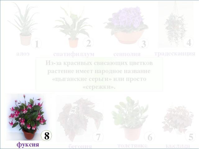 Из-за красивых свисающих цветков растение имеет народное название «цыганские серьги» или просто «сережки».