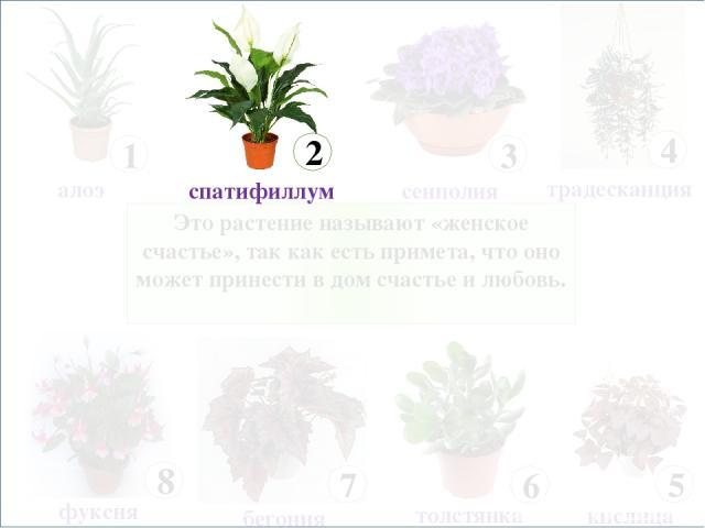 Это растение называют «женское счастье», так как есть примета, что оно может принести в дом счастье и любовь.