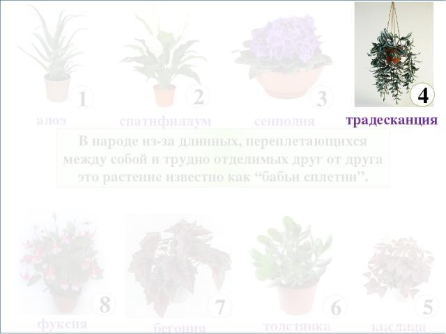 """В народе из-за длинных, переплетающихся между собой и трудно отделимых друг от друга это растение известно как """"бабьи сплетни""""."""