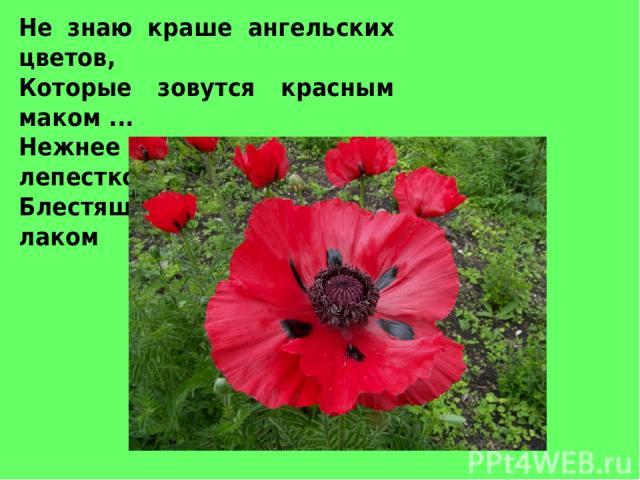 Не знаю краше ангельских цветов, Которые зовутся красным маком ... Нежнее не встречала лепестков - Блестящих, как покрытых лаком