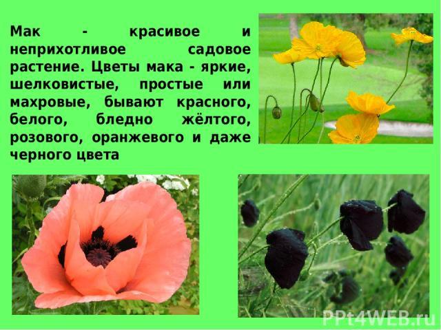 Мак - красивое и неприхотливое садовое растение. Цветы мака - яркие, шелковистые, простые или махровые, бывают красного, белого, бледно жёлтого, розового, оранжевого и даже черного цвета