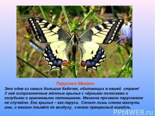 Парусник Махаон. Это одна из самых больших бабочек, обитающих в нашей стране! У