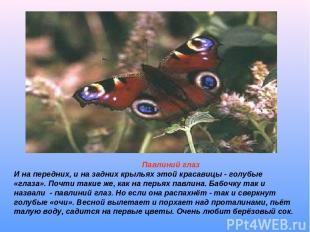 Павлиний глаз И на передних, и на задних крыльях этой красавицы - голубые «глаза