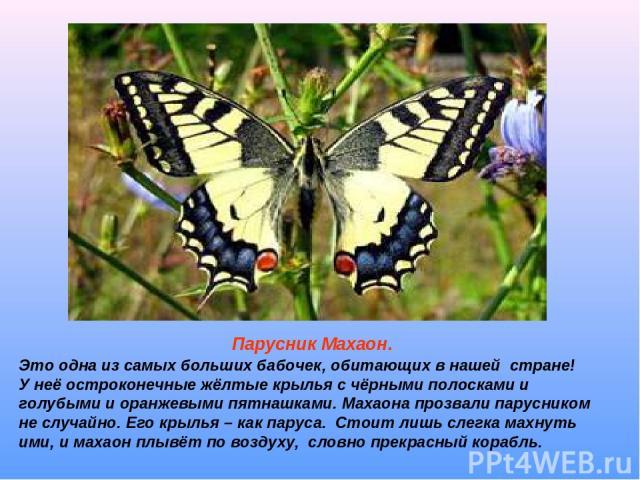 Парусник Махаон. Это одна из самых больших бабочек, обитающих в нашей стране! У неё остроконечные жёлтые крылья с чёрными полосками и голубыми и оранжевыми пятнашками. Махаона прозвали парусником не случайно. Его крылья – как паруса. Стоит лишь слег…