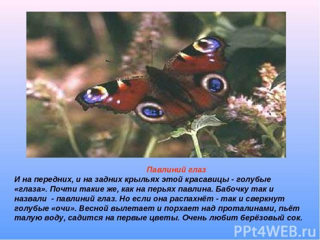 Павлиний глаз И на передних, и на задних крыльях этой красавицы - голубые «глаза». Почти такие же, как на перьях павлина. Бабочку так и назвали - павлиний глаз. Но если она распахнёт - так и сверкнут голубые «очи». Весной вылетает и порхает над прот…