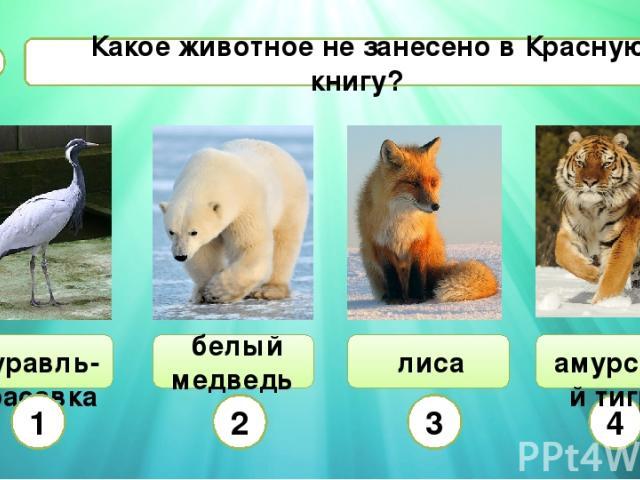 Какое животное не занесено в Красную книгу? В2 журавль-красавка белый медведь 1 2 3 4 амурский тигр лиса