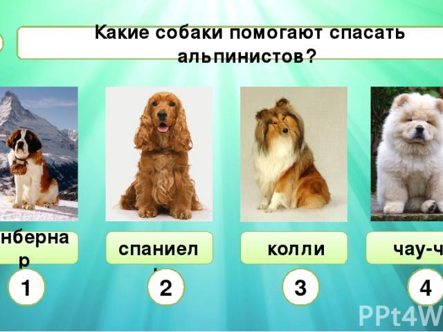 спаниель Какие собаки помогают спасать альпинистов? А8 сенбернар чау-чау колли 1 2 3 4