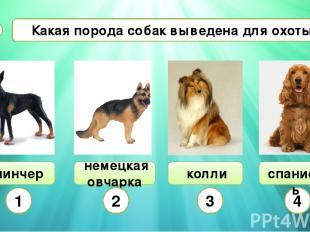 Какая порода собак выведена для охоты? А8 пинчер немецкая овчарка колли 1 2 3 4