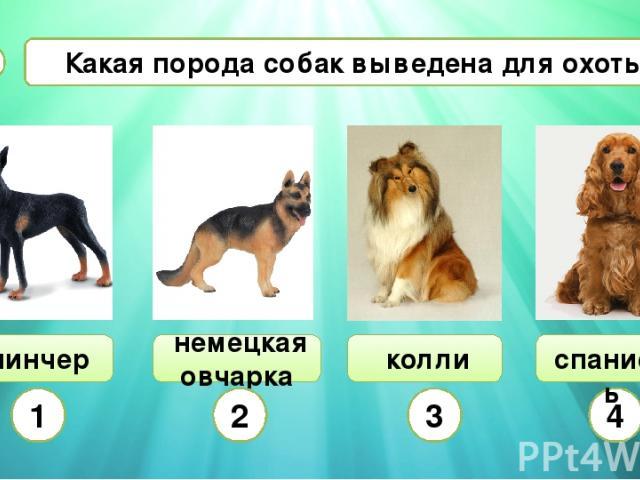 Какая порода собак выведена для охоты? А8 пинчер немецкая овчарка колли 1 2 3 4 спаниель