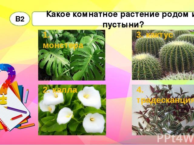 Какое комнатное растение родом из пустыни? В2 1. монстера 2. калла 4. традесканция 3. кактус