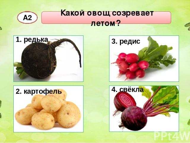 Какой овощ созревает летом? А2 4. свёкла 1. редька 2. картофель 3. редис