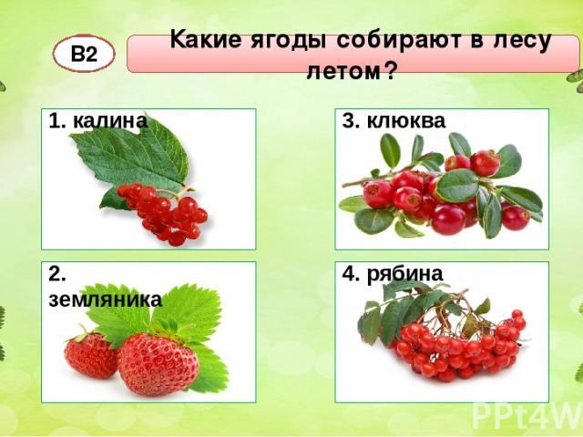 Какие ягоды собирают в лесу летом? В2 1. калина 2. земляника 3. клюква 4. рябина