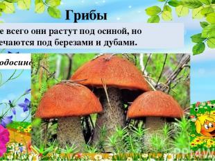 Подосиновик Чаще всего они растут под осиной, но встречаются под березами и дуба