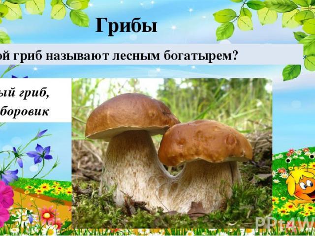 Белый гриб, или боровик Какой гриб называют лесным богатырем? Грибы 30