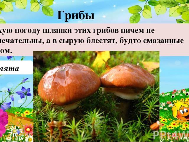 Маслята В сухую погоду шляпки этих грибов ничем не примечательны, а в сырую блестят, будто смазанные маслом. Грибы 50