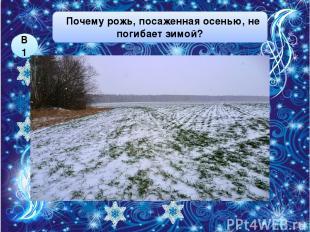 ей тепло под снегом её посыпают специальным веществом Почему рожь, посаженная ос