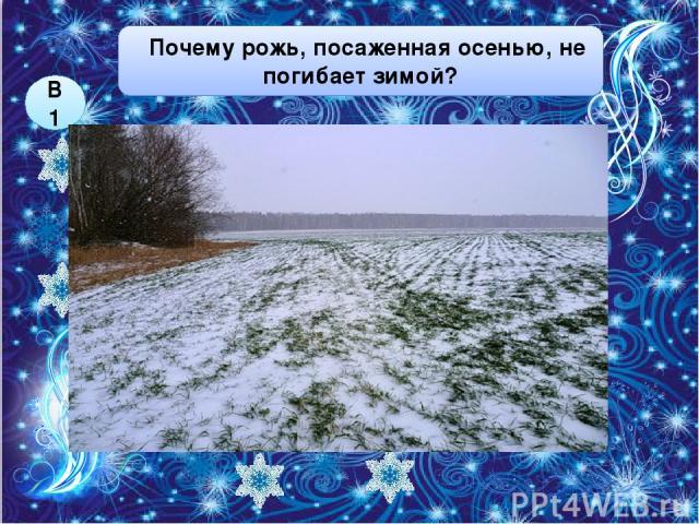 ей тепло под снегом её посыпают специальным веществом Почему рожь, посаженная осенью, не погибает зимой? В1 1 2 4 она не успевает взойти в земле она засыпает 3