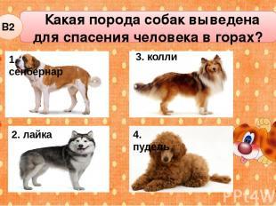 Какая порода собак выведена для спасения человека в горах? В2 2. лайка 3. колли