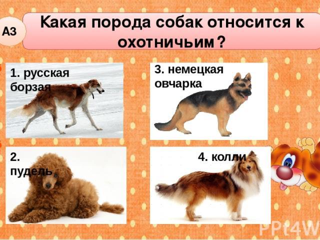 Какая порода собак относится к охотничьим? А3 2. пудель 3. немецкая овчарка 4. колли 1. русская борзая