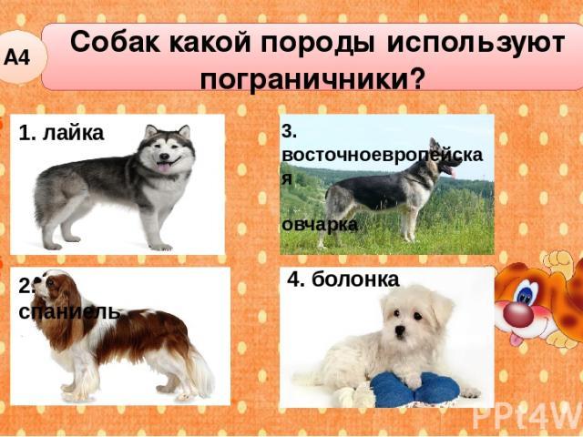 Собак какой породы используют пограничники? А4 1. лайка 2. спаниель 4. болонка 3. восточноевропейская овчарка