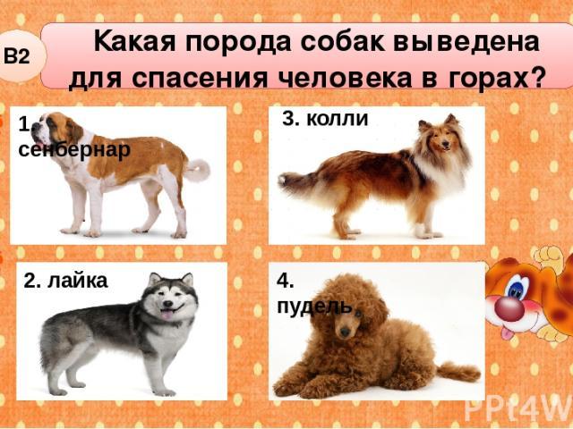 Какая порода собак выведена для спасения человека в горах? В2 2. лайка 3. колли 4. пудель 1. сенбернар