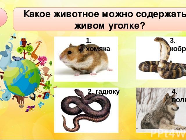 Какое животное можно содержать в живом уголке? А1 2. гадюку 3. кобру 4. волка 1. хомяка