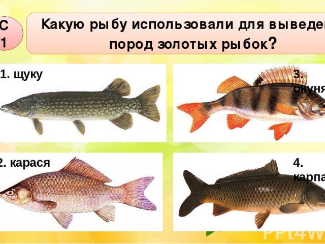 Какую рыбу использовали для выведения пород золотых рыбок? С1 1. щуку 3. окуня 4. карпа 2. карася