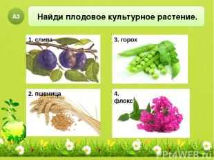 Найди плодовое культурное растение. А3 2. пшеница 3. горох 4. флокс 1. слива