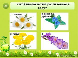 Какой цветок может расти только в саду? А4 1. ромашка 2. лютик 3. вероника дубра