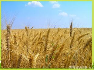 Какая зерновая культура лучше всего переносит холод? В3 3. пшеница 1. рис 2. овё