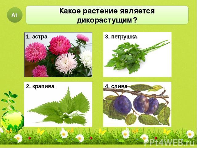 Какое растение является дикорастущим? А1 1. астра 3. петрушка 4. слива 2. крапива