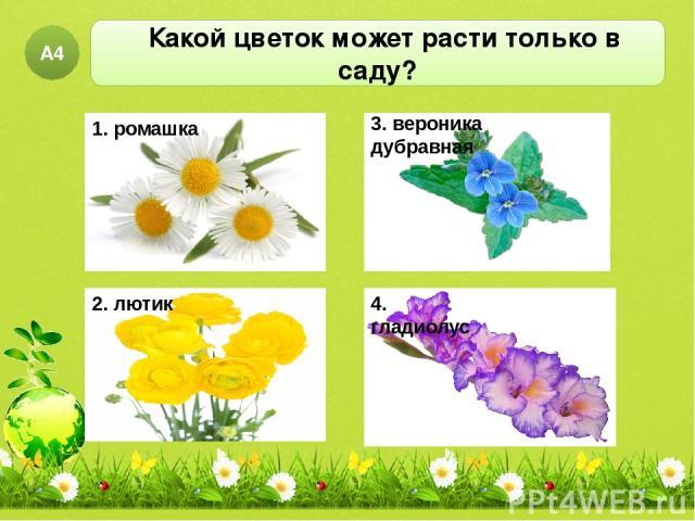 Какой цветок может расти только в саду? А4 1. ромашка 2. лютик 3. вероника дубравная 4. гладиолус