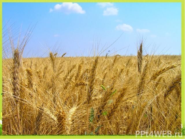 Какая зерновая культура лучше всего переносит холод? В3 3. пшеница 1. рис 2. овёс 4. рожь