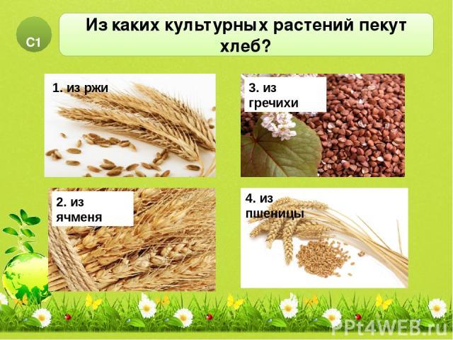Из каких культурных растений пекут хлеб? С1 2. из ячменя 3. из гречихи 1. рис 1. из ржи 4. из пшеницы